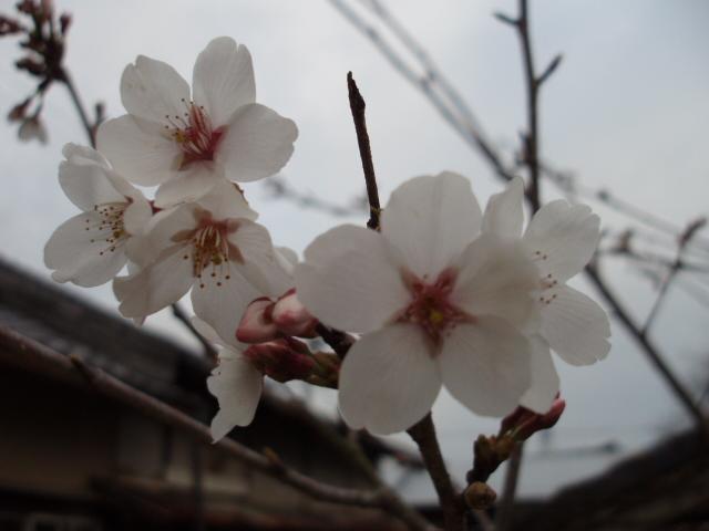 大同楽座花見会にて_c0010936_12432288.jpg