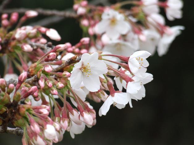 岩本山の桜_b0089338_2021575.jpg