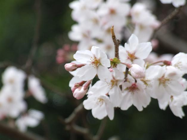 岩本山の桜_b0089338_20221120.jpg