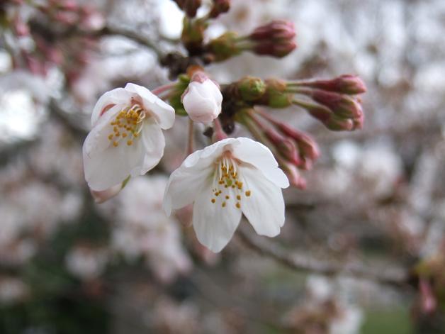 岩本山の桜_b0089338_20221519.jpg
