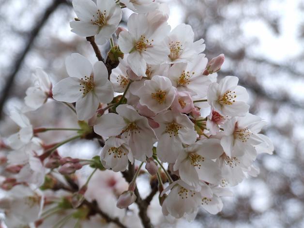岩本山の桜_b0089338_20222160.jpg