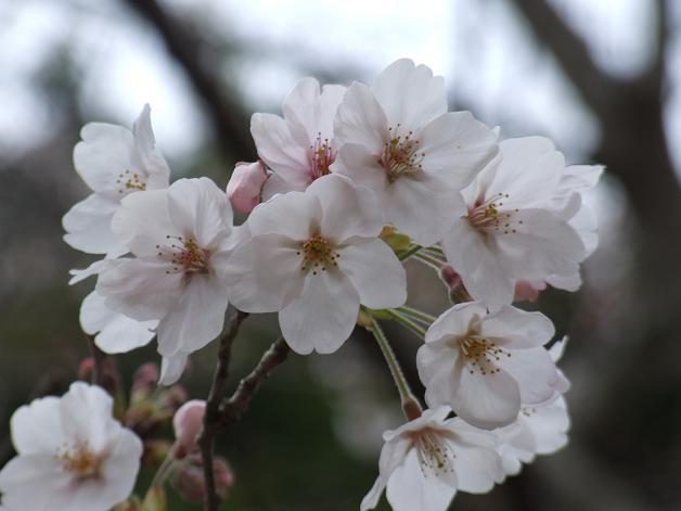 岩本山の桜_b0089338_20222748.jpg