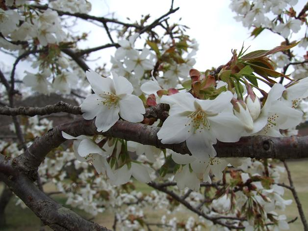 岩本山の桜_b0089338_2022412.jpg