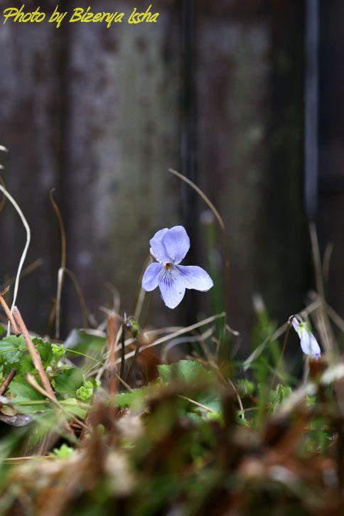 春の花たち_d0086248_1125243.jpg