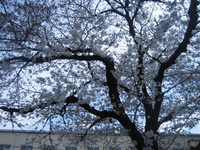 休日診療所でお花見。_f0181251_1954813.jpg