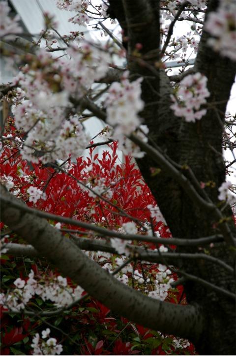 桜・・・写真・・・散策_f0051464_10164821.jpg
