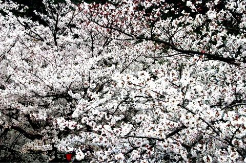 桜・・・写真・・・散策_f0051464_10265424.jpg