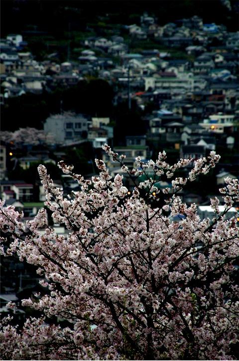 桜・・・写真・・・散策_f0051464_10324821.jpg