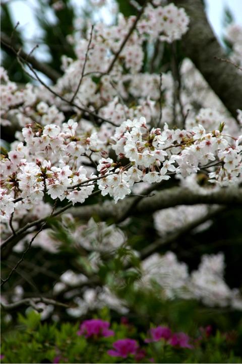 桜・・・写真・・・散策_f0051464_1052389.jpg