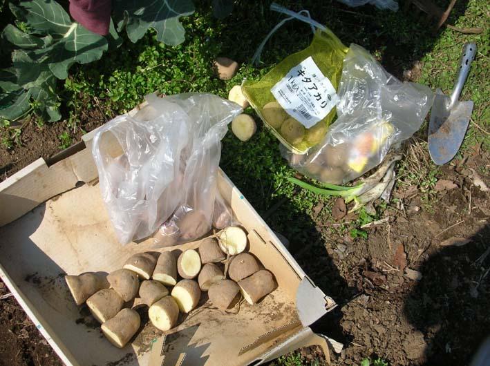 サトイモ、ジャガイモの植え付け完了(09・3・25)_c0014967_5484586.jpg