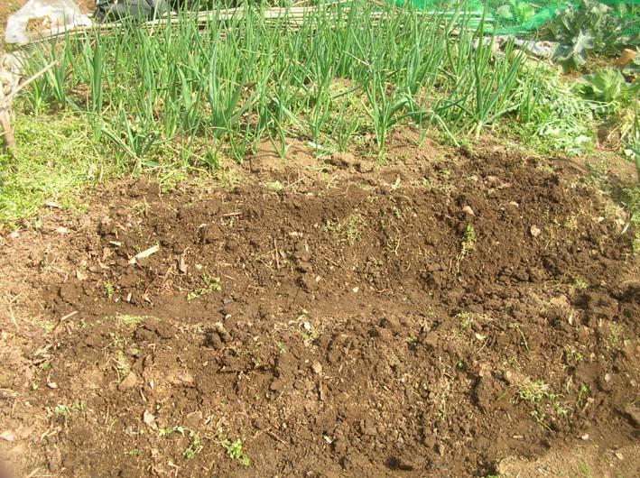 サトイモ、ジャガイモの植え付け完了(09・3・25)_c0014967_5492934.jpg