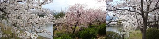 小城公園の桜_d0132289_13131928.jpg
