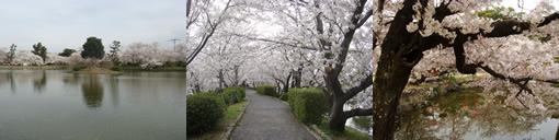 小城公園の桜_d0132289_13282062.jpg