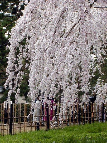 御所の枝垂れ桜 2009 その2_c0057390_23103444.jpg