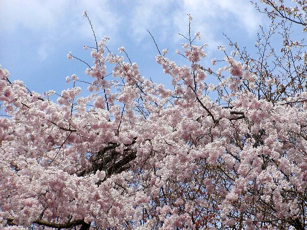 御所の枝垂れ桜 2009 その2_c0057390_23111959.jpg