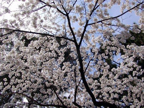 御所の枝垂れ桜 2009 その2_c0057390_23113157.jpg