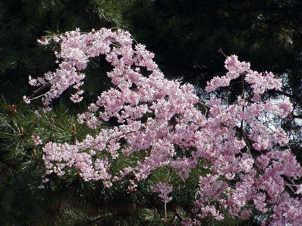 御所の枝垂れ桜 2009 その2_c0057390_23115735.jpg