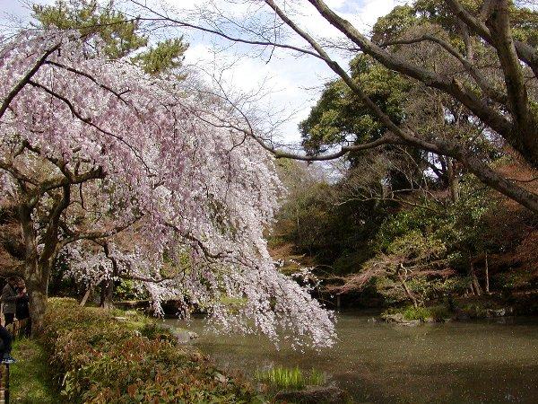 御所の枝垂れ桜 2009 その2_c0057390_2313223.jpg