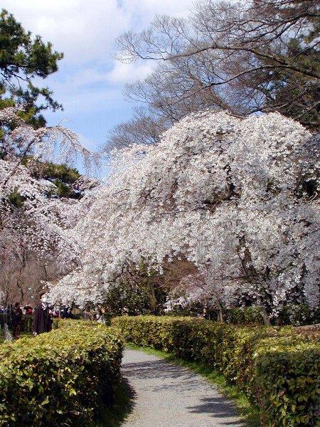 御所の枝垂れ桜 2009 その2_c0057390_23132882.jpg