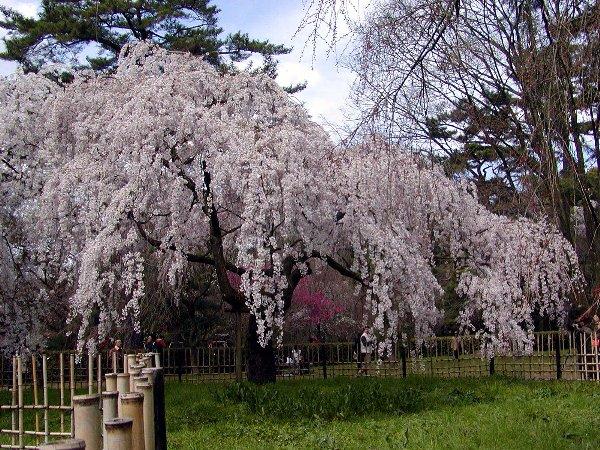 御所の枝垂れ桜 2009 その2_c0057390_23134655.jpg