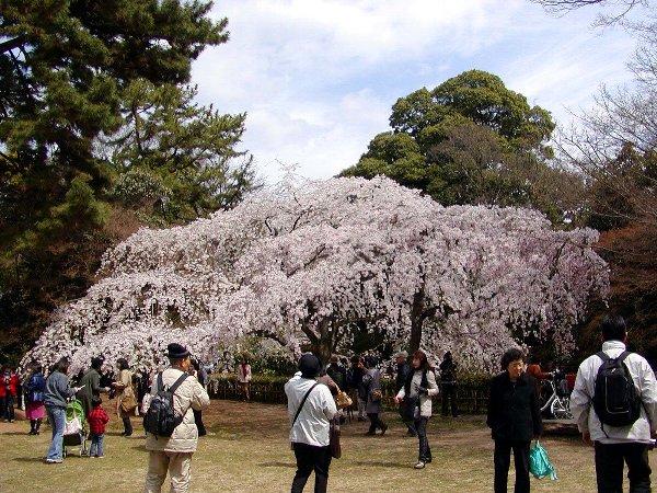 御所の枝垂れ桜 2009 その2_c0057390_23142542.jpg