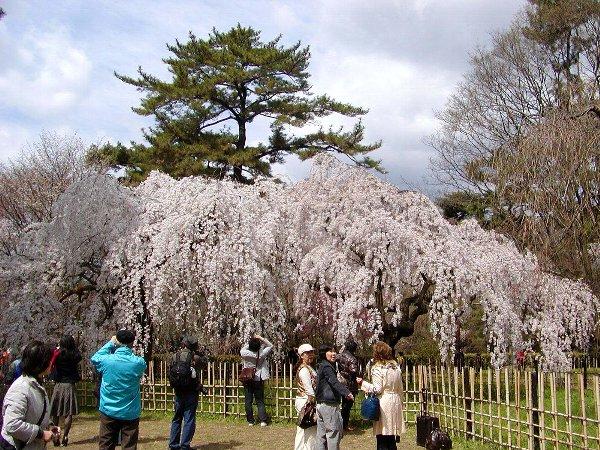 御所の枝垂れ桜 2009 その2_c0057390_23143224.jpg
