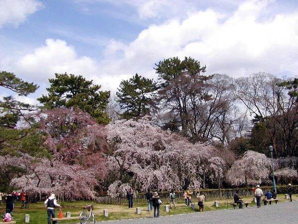 御所の枝垂れ桜 2009 その2_c0057390_23143988.jpg