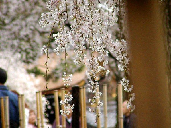 御所の枝垂れ桜 2009 その2_c0057390_239140.jpg