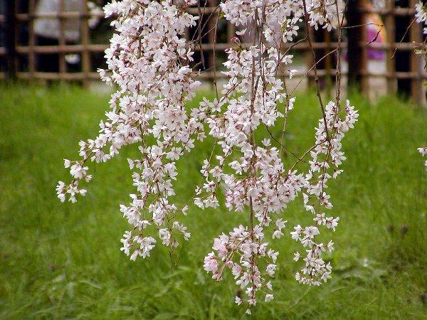 御所の枝垂れ桜 2009 その2_c0057390_2393361.jpg