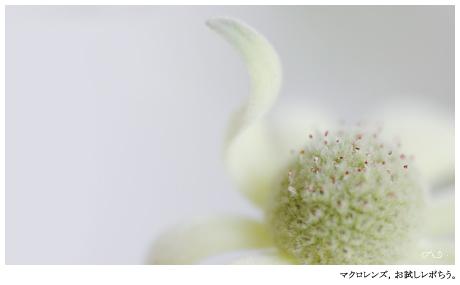 大好きなお花のフランネルフラワー。クセっけ?クセヒラ?を持ったコ。。