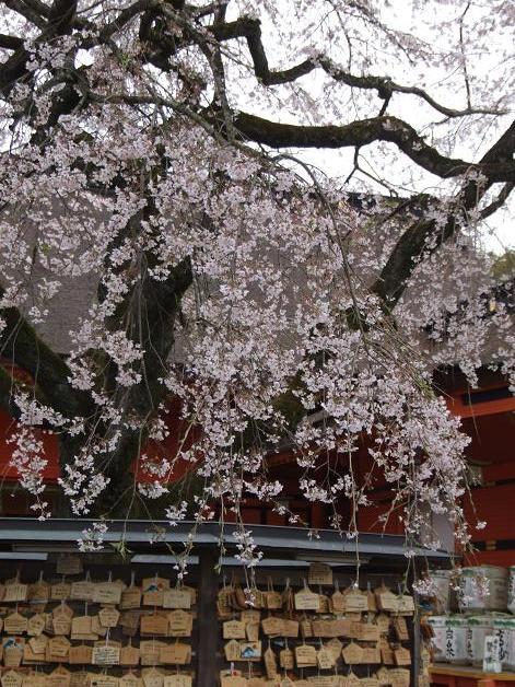 枝垂れ桜_b0089338_23334221.jpg
