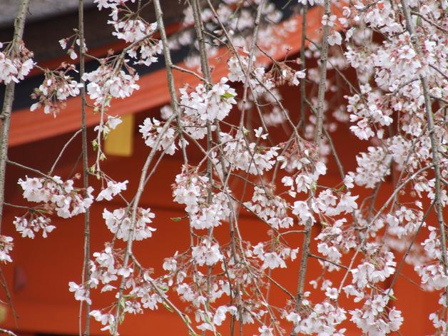 枝垂れ桜_b0089338_2333479.jpg