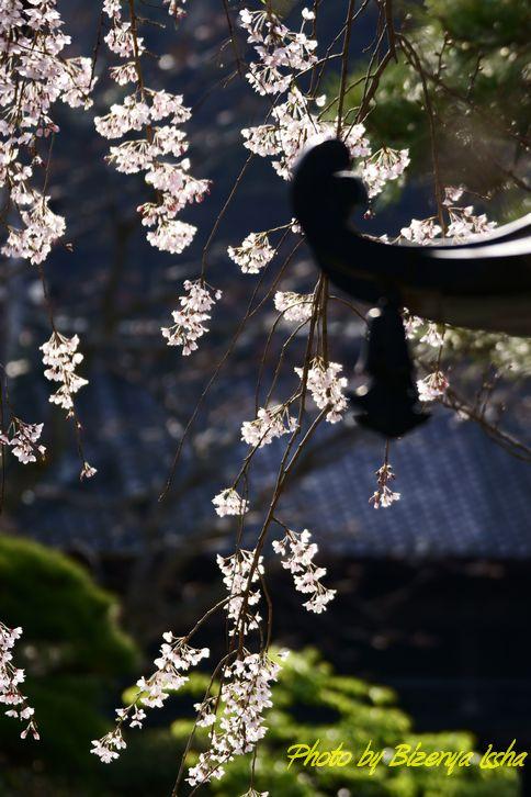 本覚寺の枝垂桜_d0086248_6501936.jpg