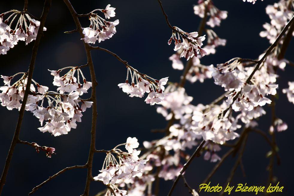 本覚寺の枝垂桜_d0086248_650661.jpg
