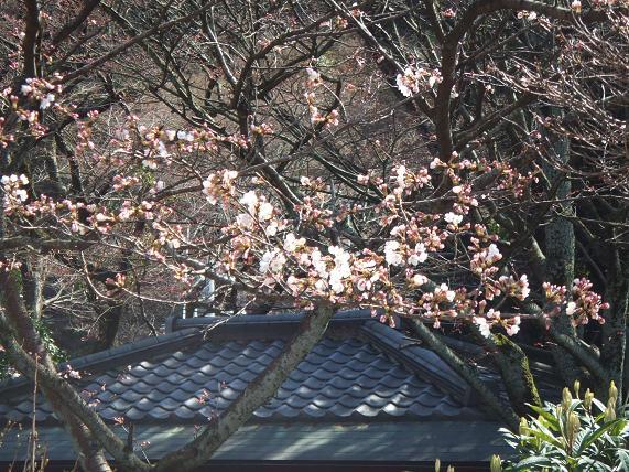 2009年3月30日 かねよの「桜」実況中継_c0078659_1764254.jpg