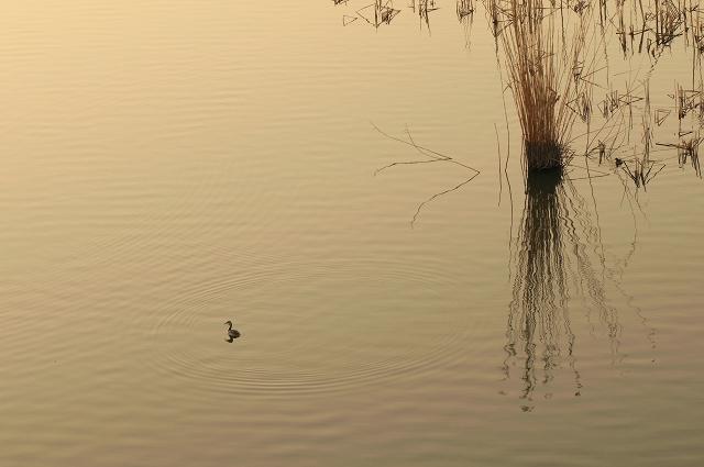 手賀沼の鳥たち_f0018464_194126100.jpg