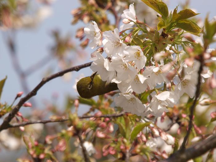桜と言えばメジロ!_b0021375_2213620.jpg
