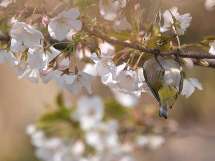 桜と言えばメジロ!_b0021375_2221454.jpg