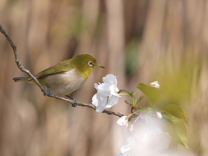 桜と言えばメジロ!_b0021375_222285.jpg