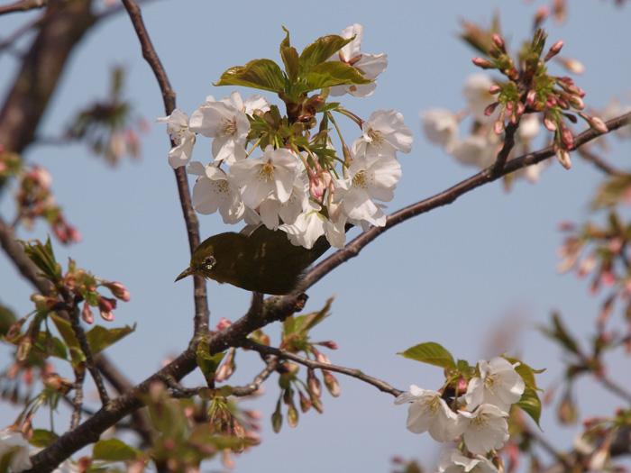 桜と言えばメジロ!_b0021375_2224692.jpg