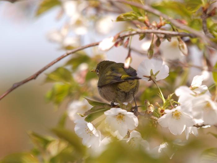 桜と言えばメジロ!_b0021375_2231398.jpg