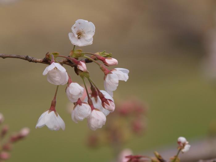 桜は?_b0021375_7142060.jpg