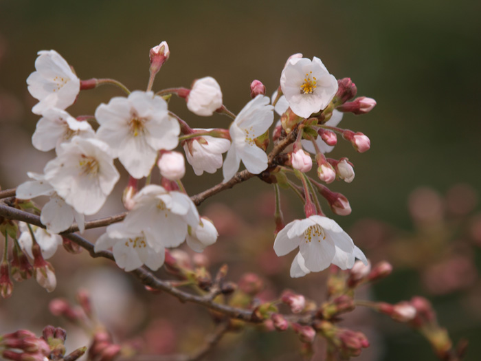 桜は?_b0021375_7142655.jpg