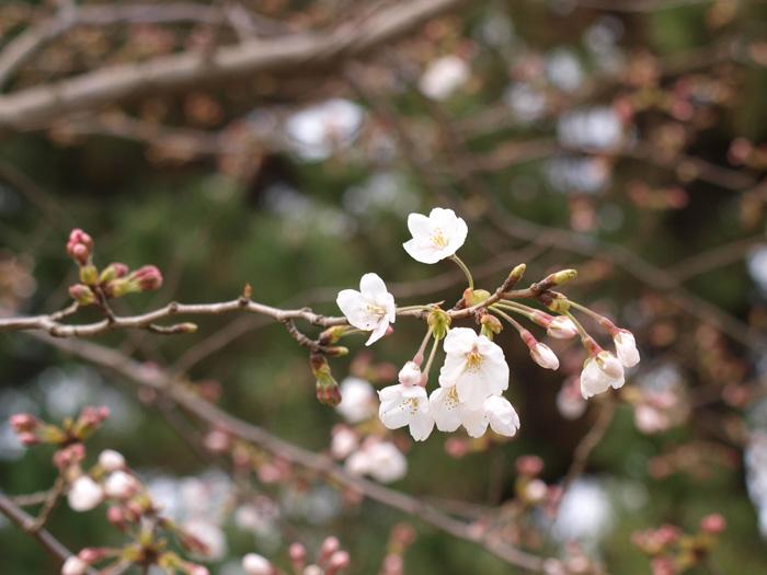 桜は?_b0021375_7145049.jpg