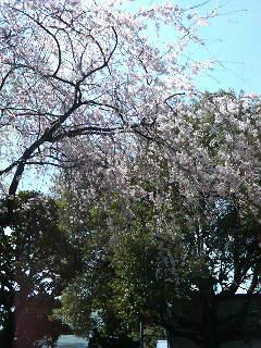桜さいて来ました。_a0075684_237827.jpg