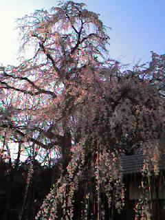 慈眼寺しだれ桜祭りコンサート/JIGENJI concert_d0090888_18524411.jpg