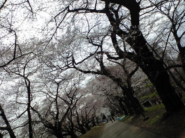 東大駒場キャンパスでお花見。_c0188809_22374738.jpg