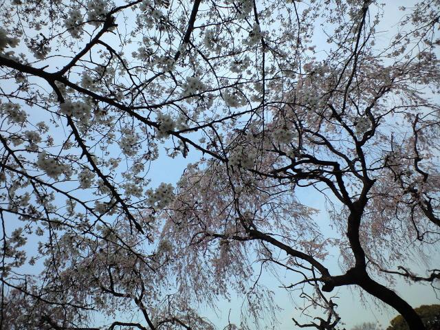 東大駒場キャンパスでお花見。_c0188809_22392827.jpg