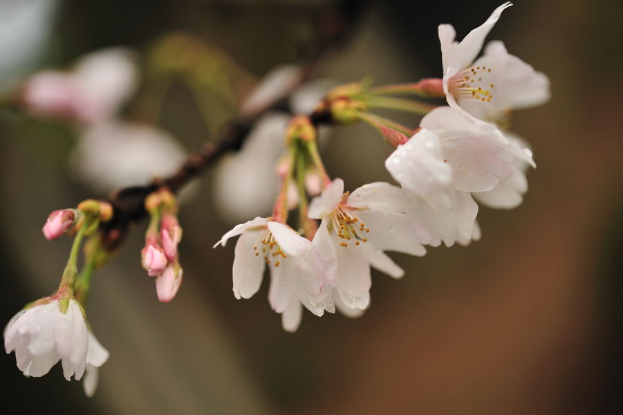 桜が続きます_e0037126_21205988.jpg