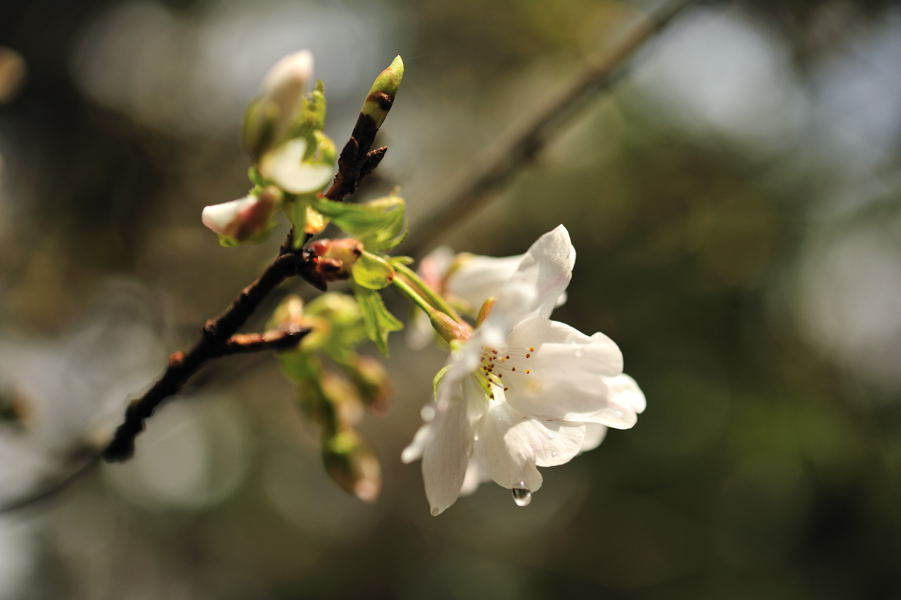 桜が続きます_e0037126_21211261.jpg